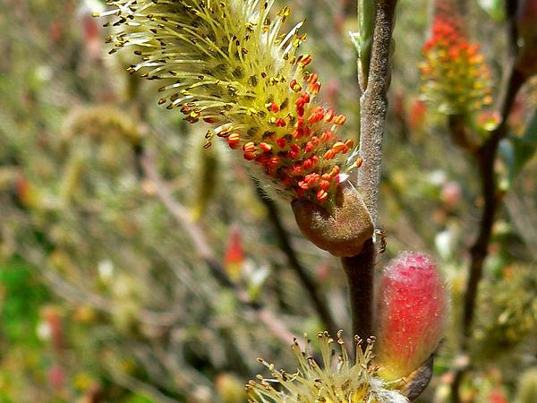 Del Norte Willow (Salix Delnortensis) http://www.sagebud.com/del-norte-willow-salix-delnortensis
