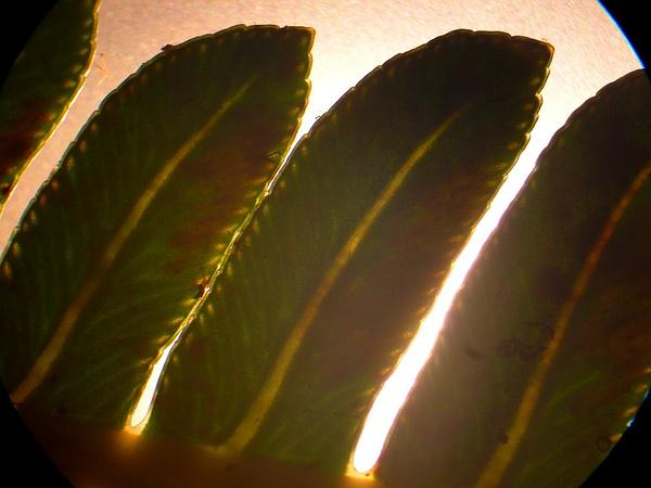 Sadleria (Sadleria) http://www.sagebud.com/sadleria-sadleria