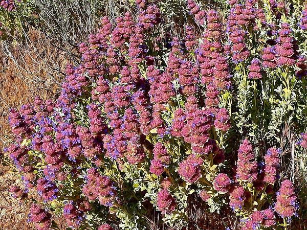 Purple Sage (Salvia Dorrii) http://www.sagebud.com/purple-sage-salvia-dorrii