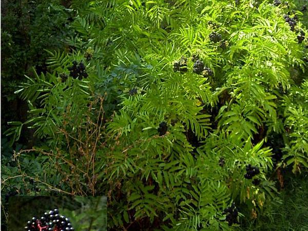 Dwarf Elderberry (Sambucus Ebulus) http://www.sagebud.com/dwarf-elderberry-sambucus-ebulus