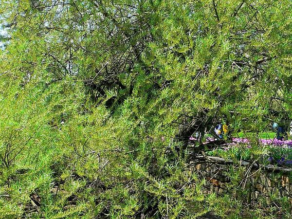 Elaeagnus Willow (Salix Elaeagnos) http://www.sagebud.com/elaeagnus-willow-salix-elaeagnos
