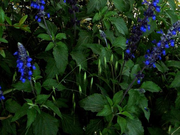 Mealycup Sage (Salvia Farinacea) http://www.sagebud.com/mealycup-sage-salvia-farinacea