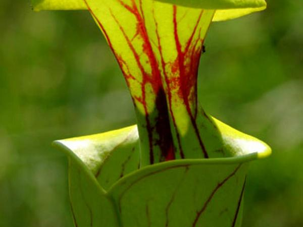 Yellow Pitcherplant (Sarracenia Flava) http://www.sagebud.com/yellow-pitcherplant-sarracenia-flava
