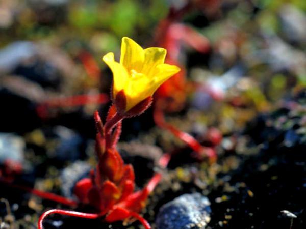 Whiplash Saxifrage (Saxifraga Flagellaris) http://www.sagebud.com/whiplash-saxifrage-saxifraga-flagellaris