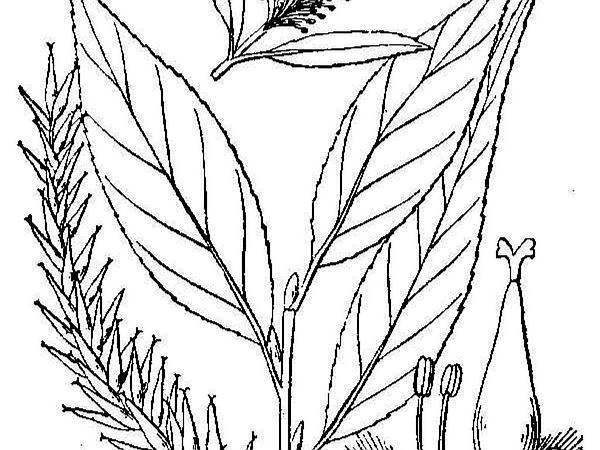 Crack Willow (Salix Fragilis) http://www.sagebud.com/crack-willow-salix-fragilis