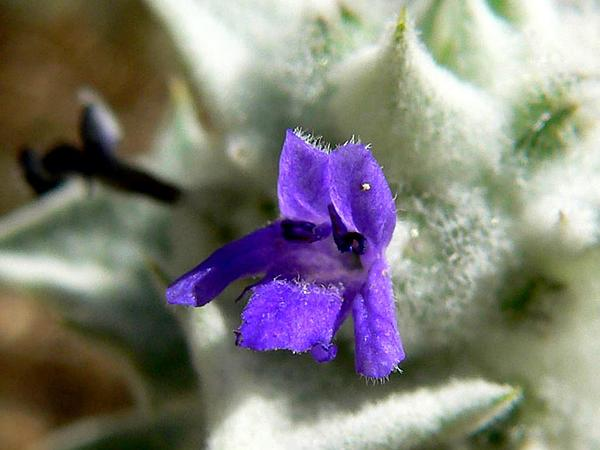 Woolly Sage (Salvia Funerea) http://www.sagebud.com/woolly-sage-salvia-funerea/