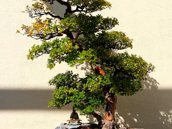 Mock Buckthorn (Sageretia) http://www.sagebud.com/mock-buckthorn-sageretia