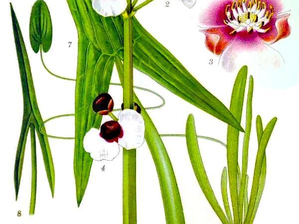 Arrowhead (Sagittaria) http://www.sagebud.com/arrowhead-sagittaria