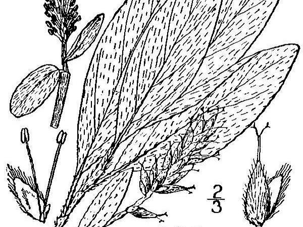 Grayleaf Willow (Salix Glauca) http://www.sagebud.com/grayleaf-willow-salix-glauca