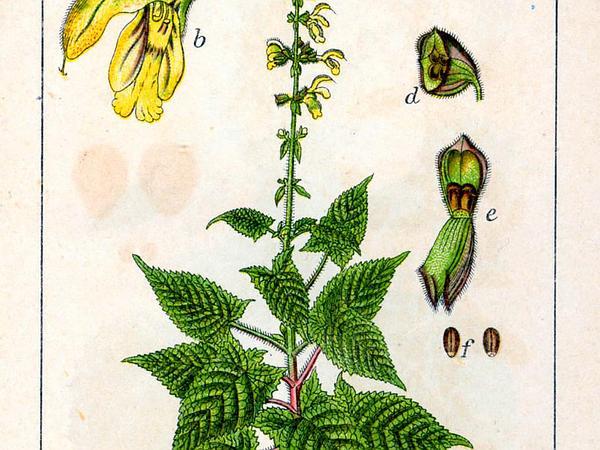Sticky Sage (Salvia Glutinosa) http://www.sagebud.com/sticky-sage-salvia-glutinosa