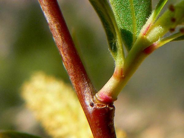 Goodding's Willow (Salix Gooddingii) http://www.sagebud.com/gooddings-willow-salix-gooddingii