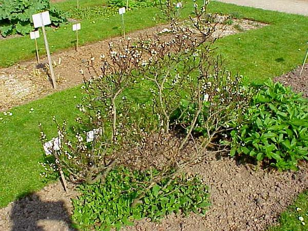 Halberd Willow (Salix Hastata) http://www.sagebud.com/halberd-willow-salix-hastata
