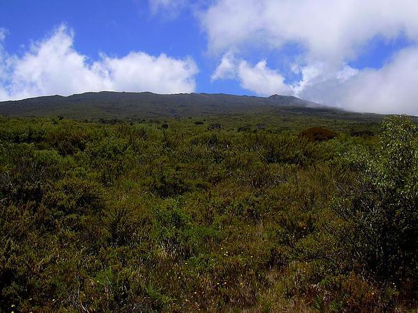Haleakala Sandalwood (Santalum Haleakalae) http://www.sagebud.com/haleakala-sandalwood-santalum-haleakalae/