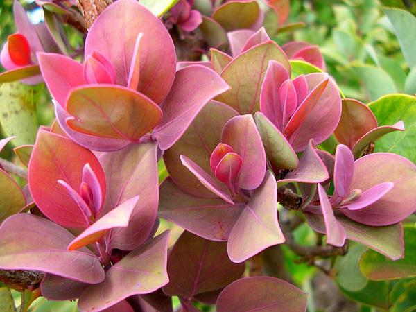 Haleakala Sandalwood (Santalum Haleakalae) http://www.sagebud.com/haleakala-sandalwood-santalum-haleakalae