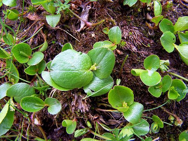 Snowbed Willow (Salix Herbacea) http://www.sagebud.com/snowbed-willow-salix-herbacea