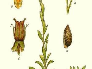 Yellow Marsh Saxifrage