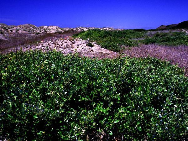 Dune Willow (Salix Hookeriana) http://www.sagebud.com/dune-willow-salix-hookeriana