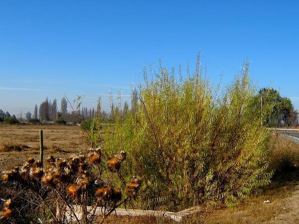 Humboldt's Willow (Salix Humboldtiana) http://www.sagebud.com/humboldts-willow-salix-humboldtiana