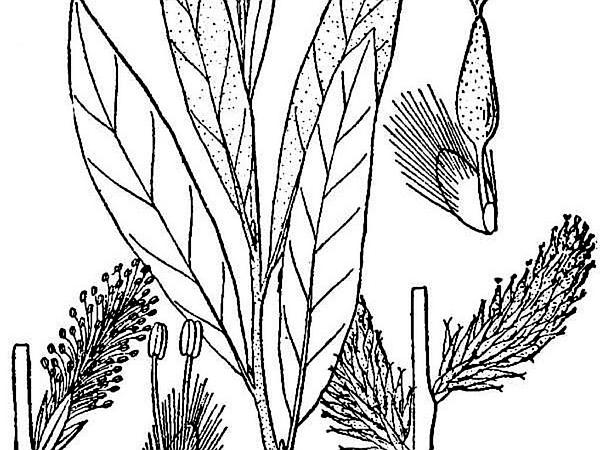 Prairie Willow (Salix Humilis) http://www.sagebud.com/prairie-willow-salix-humilis