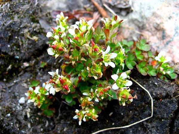 Pygmy Saxifrage (Saxifraga Hyperborea) http://www.sagebud.com/pygmy-saxifrage-saxifraga-hyperborea