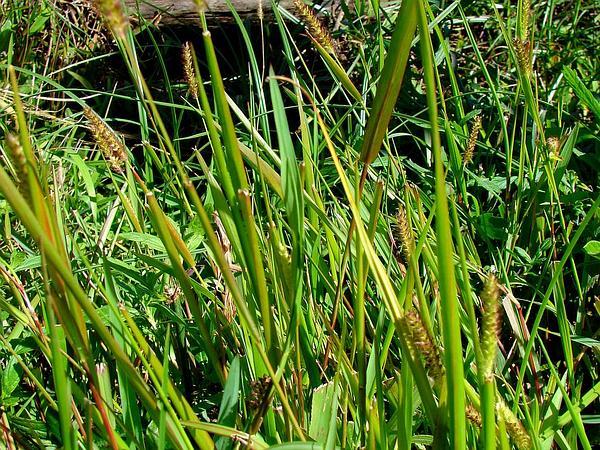 Glenwoodgrass (Sacciolepis Indica) http://www.sagebud.com/glenwoodgrass-sacciolepis-indica