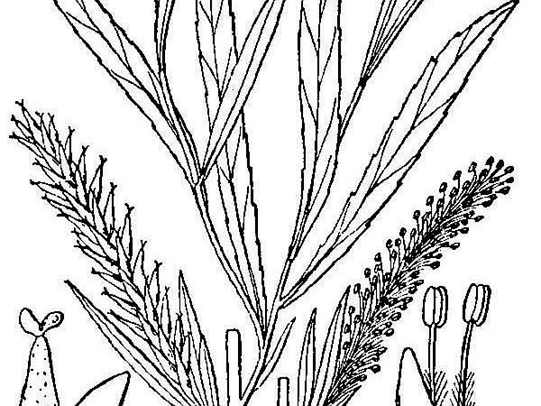 Sandbar Willow (Salix Interior) http://www.sagebud.com/sandbar-willow-salix-interior