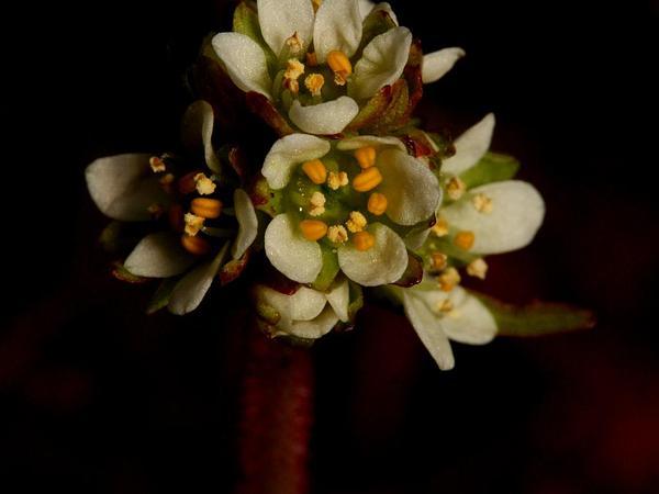 Wholeleaf Saxifrage (Saxifraga Integrifolia) http://www.sagebud.com/wholeleaf-saxifrage-saxifraga-integrifolia