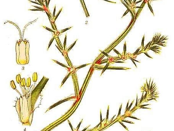 Russian Thistle (Salsola Kali) http://www.sagebud.com/russian-thistle-salsola-kali
