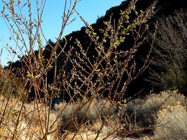 Arroyo Willow (Salix Lasiolepis) http://www.sagebud.com/arroyo-willow-salix-lasiolepis