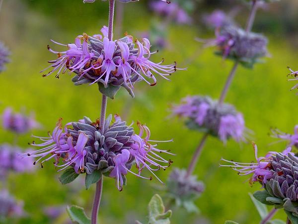 San Luis Purple Sage (Salvia Leucophylla) http://www.sagebud.com/san-luis-purple-sage-salvia-leucophylla