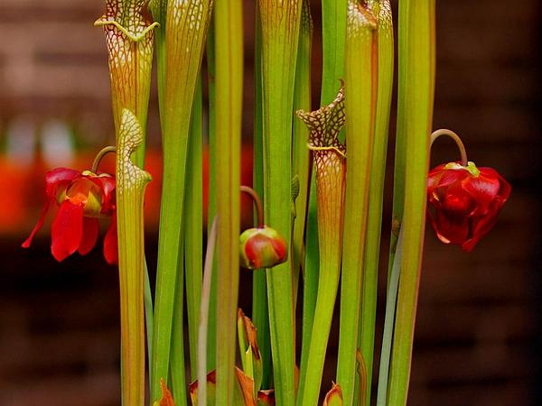 Crimson Pitcherplant (Sarracenia Leucophylla) http://www.sagebud.com/crimson-pitcherplant-sarracenia-leucophylla