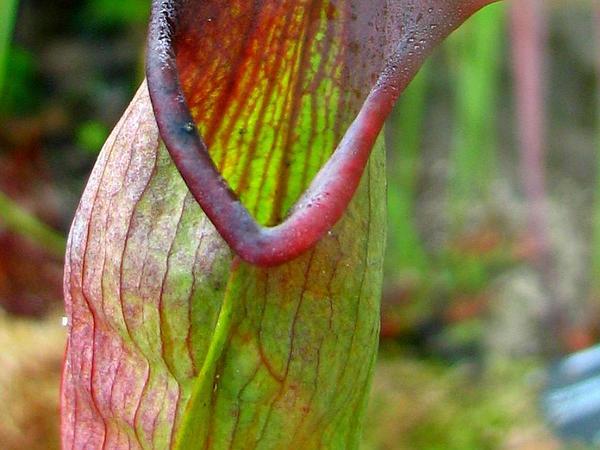 Crimson Pitcherplant (Sarracenia Leucophylla) http://www.sagebud.com/crimson-pitcherplant-sarracenia-leucophylla/