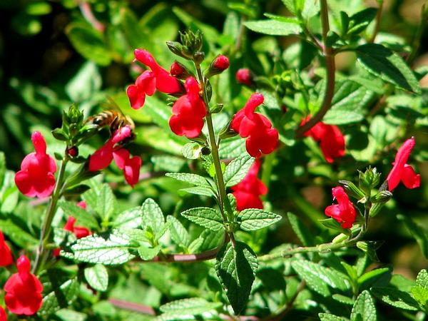 Lemmon's Sage (Salvia Lemmonii) http://www.sagebud.com/lemmons-sage-salvia-lemmonii