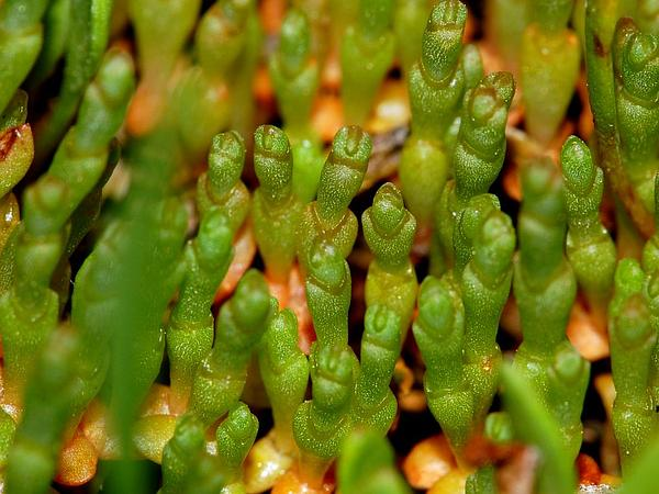 Pickleweed (Salicornia) http://www.sagebud.com/pickleweed-salicornia/