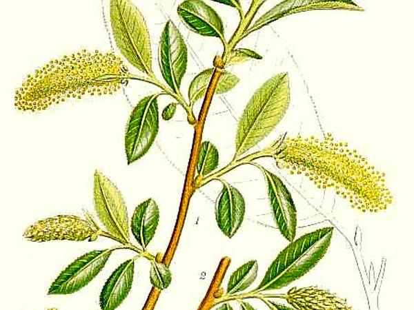 Willow (Salix) http://www.sagebud.com/willow-salix
