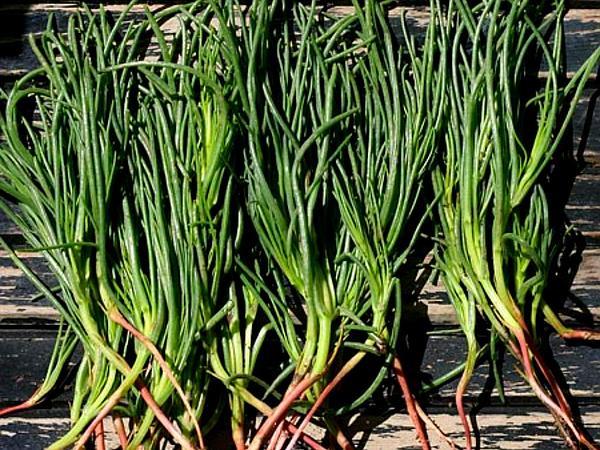 Russian Thistle (Salsola) http://www.sagebud.com/russian-thistle-salsola