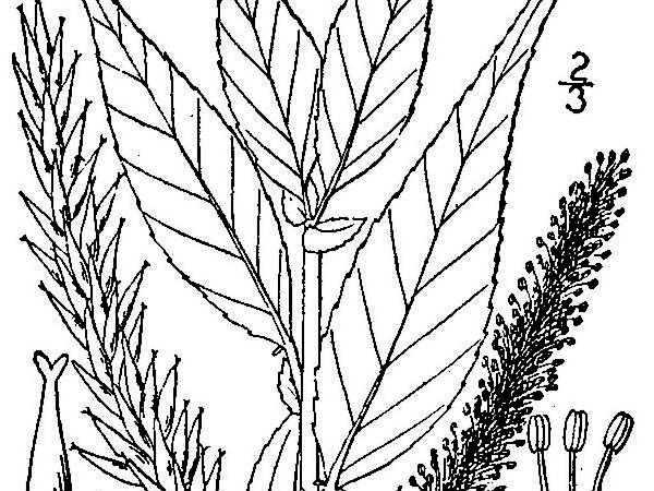 Shining Willow (Salix Lucida) http://www.sagebud.com/shining-willow-salix-lucida