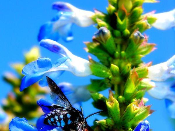 Sage (Salvia) http://www.sagebud.com/sage-salvia/