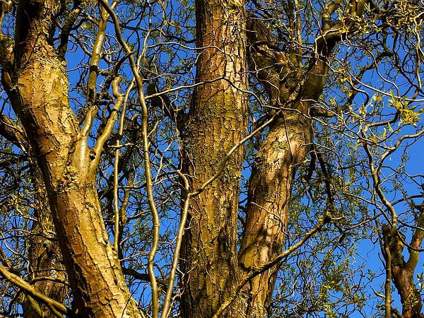 Corkscrew Willow (Salix Matsudana) http://www.sagebud.com/corkscrew-willow-salix-matsudana