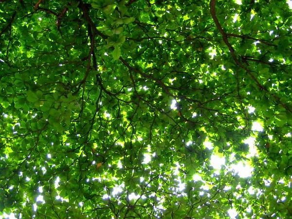 Raintree (Samanea) http://www.sagebud.com/raintree-samanea/