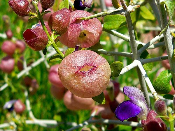 Mexican Bladdersage (Salazaria Mexicana) http://www.sagebud.com/mexican-bladdersage-salazaria-mexicana