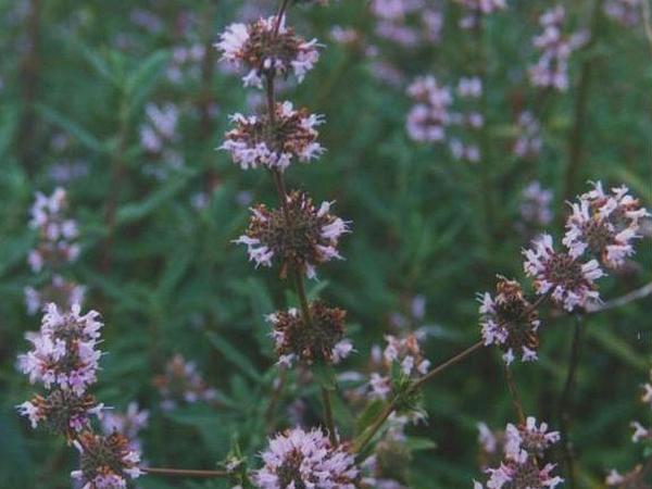 Black Sage (Salvia Mellifera) http://www.sagebud.com/black-sage-salvia-mellifera/