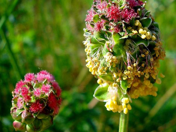 Small Burnet (Sanguisorba Minor) http://www.sagebud.com/small-burnet-sanguisorba-minor