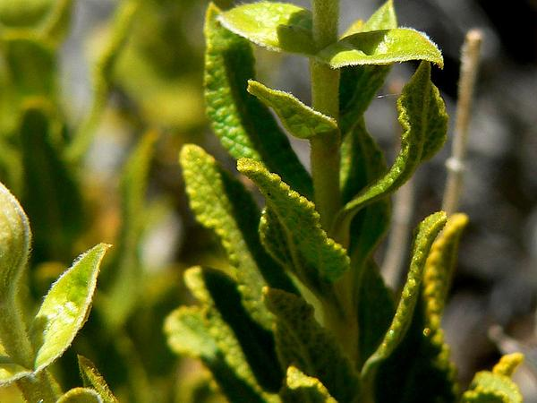 Mojave Sage (Salvia Mohavensis) http://www.sagebud.com/mojave-sage-salvia-mohavensis/