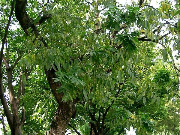 Chinese Soapberry (Sapindus Mukorossi) http://www.sagebud.com/chinese-soapberry-sapindus-mukorossi