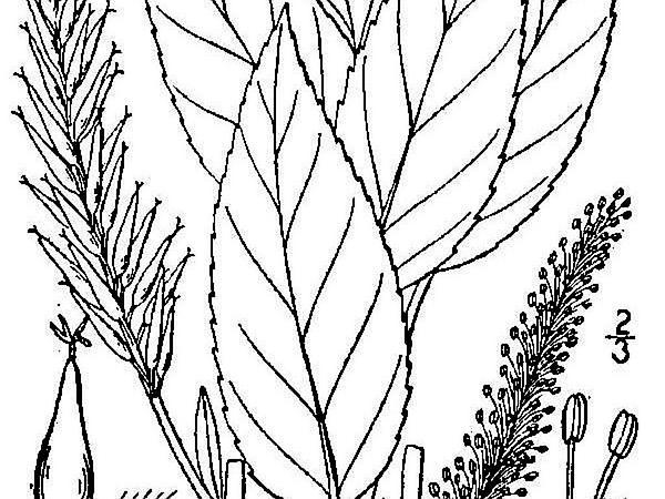 Bayberry Willow (Salix Myricoides) http://www.sagebud.com/bayberry-willow-salix-myricoides