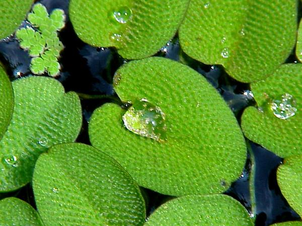 Floating Watermoss (Salvinia Natans) http://www.sagebud.com/floating-watermoss-salvinia-natans/