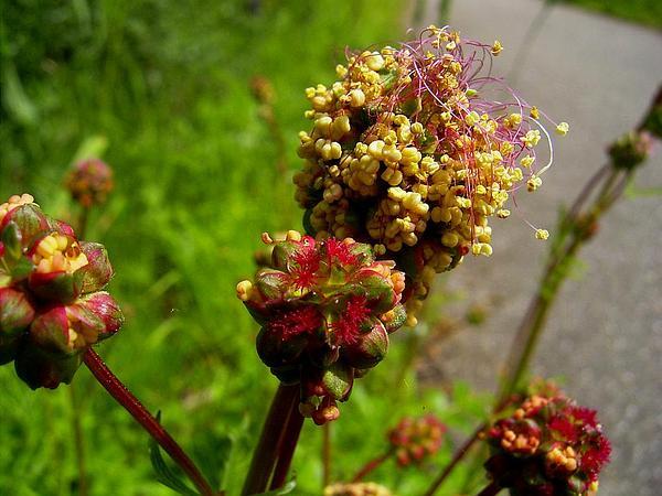 Burnet (Sanguisorba) http://www.sagebud.com/burnet-sanguisorba