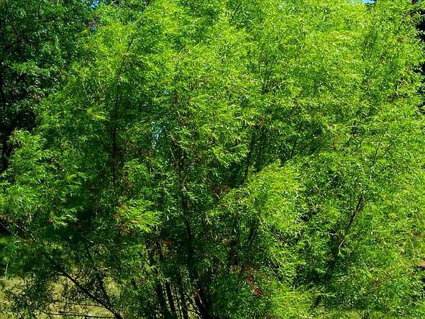 Black Willow (Salix Nigra) http://www.sagebud.com/black-willow-salix-nigra