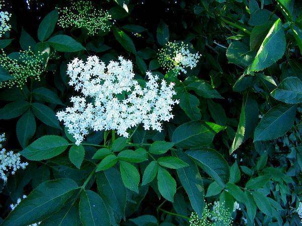 Black Elderberry (Sambucus Nigra) http://www.sagebud.com/black-elderberry-sambucus-nigra/
